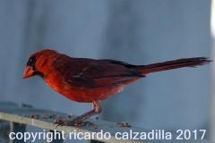 Southern Cardinal Male Austin Texas