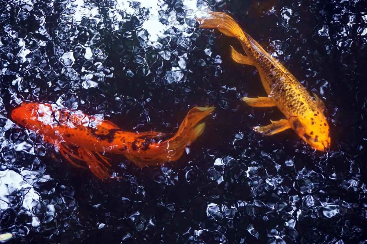 Koi Pond Fish Photograph by Ricardo calzadilla